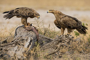 Tawny Eagle (Aquila rapax) pair feeding on carrion, Kenya  -  Marius Bast/ BIA