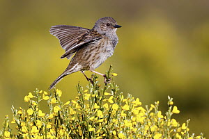 Dunnock (Prunella modularis) spreading wings, Spain  -  Mario Suarez Porras/ BIA