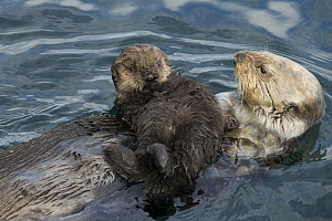 Sea Otter (Enhydra lutris) mother and six day old newborn pup, Monterey Bay, California  -  Suzi Eszterhas