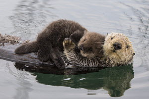 Sea Otter (Enhydra lutris) mother and three day old newborn pup, Monterey Bay, California  -  Suzi Eszterhas