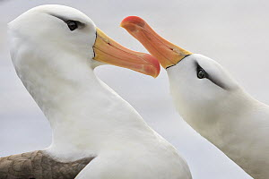 Black-browed Albatross (Thalassarche melanophrys) pair courting, Saunders Island, Falkland Islands - Heike Odermatt