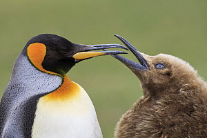 King Penguin (Aptenodytes patagonicus) chick begging for food, Saunders Island, Falkland Islands - Heike Odermatt