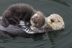 Sea Otter (Enhydra lutris) mother with three day old newborn pup, Monterey Bay, California  -  Suzi Eszterhas