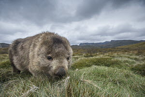 Common Wombat (Vombatus ursinus) foraging, Cradle Mountain-Lake Saint Clair National Park, Tasmania, Australia  -  Sean Crane