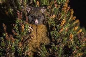 Common Brush-tailed Possum (Trichosurus vulpecula) at night, Cradle Mountain-Lake Saint Clair National Park, Tasmania, Australia  -  Sean Crane