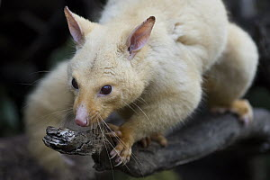 Common Brush-tailed Possum (Trichosurus vulpecula), golden color morph, Bonorong Wildlife Sanctuary, Tasmania, Australia - Sean Crane