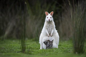 Red-necked Wallaby (Macropus rufogriseus), white-morph mother, with brown joey, Bruny Island, Tasmania, Australia  -  Sean Crane