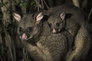 Common Brush-tailed Possum (Trichosurus vulpecula) mother with young at night, Tasmania, Australia - Sean Crane