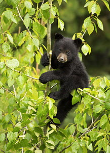 Black Bear (Ursus americanus) cub in tree, North America - Mark Raycroft