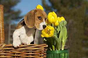 Beagle (Canis familiaris) puppy smelling tulip  -  Mark Raycroft