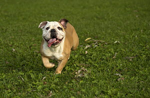 English Bulldog (Canis familiaris) female running - Mark Raycroft