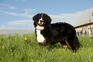 Bernese Mountain Dog (Canis familiaris) - Mark Raycroft
