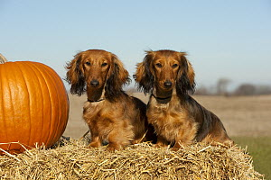 Miniature Long Haired Dachshund (Canis familiaris) males with a pumpkin  -  Mark Raycroft