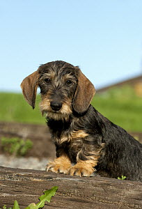 Miniature Wire-haired Dachshund (Canis familiaris) puppy - Mark Raycroft
