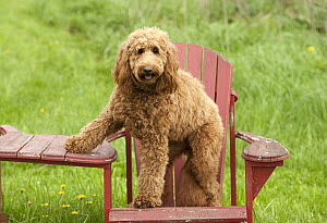 Goldendoodle (Canis familiaris) on chair - Mark Raycroft