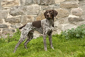 German Shorthaired Pointer (Canis familiaris) male with docked tail - Mark Raycroft