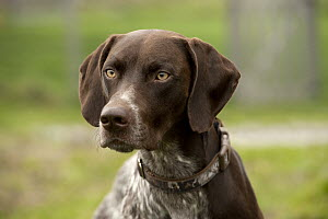German Shorthaired Pointer (Canis familiaris) male - Mark Raycroft