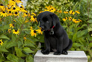 Black Labrador Retriever (Canis familiaris) puppy sniffing flower - Mark Raycroft