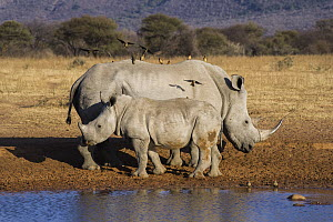 White Rhinoceros (Ceratotherium simum) mother and calf with Red-billed Oxpeckers (Buphagus erythrorhynchus), South Africa  -  Pete Oxford