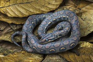 Rainbow Boa (Epicrates cenchria cenchria) young, native to Central and South America  -  Pete Oxford