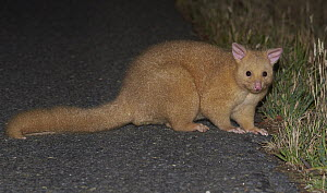 Common Brush-tailed Possum (Trichosurus vulpecula) crossing road at night, Bruny Island, Tasmania, Australia - Martin Willis