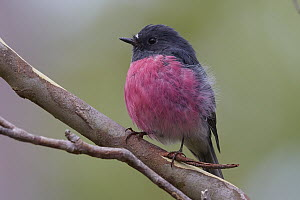 Pink Robin (Petroica rodinogaster), Cradle Mountain-Lake Saint Clair National Park, Tasmania, Australia  -  Martin Willis