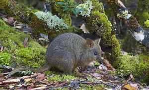 Red-bellied Pademelon (Thylogale billardierii), Cradle Mountain-Lake Saint Clair National Park, Tasmania, Australia  -  Martin Willis