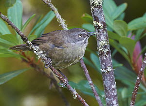 Brown Scrubwren (Sericornis humilis), Cradle Mountain-Lake Saint Clair National Park, Tasmania, Australia  -  Martin Willis