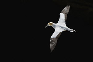 Australian Gannet (Morus serrator) flying, Auckland, North Island, New Zealand  -  Mark Carwardine