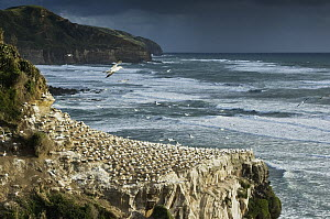 Australian Gannet (Morus serrator) nesting colony on cliff, Auckland, North Island, New Zealand  -  Mark Carwardine