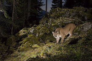 Mountain Lion (Puma concolor) at night, Washingon - Michael Durham