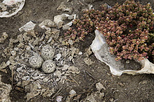 Snowy Plover (Charadrius nivosus) nest in restored salt pond with shells laid by biologists to increase camouflage possibilities for adults, Eden Landing Ecological Reserve, Union City, Bay Area, Cali...  -  Sebastian Kennerknecht
