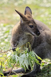Red-necked Wallaby (Macropus rufogriseus) browsing, Landau, Germany  -  Juergen & Christine Sohns