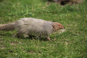 Indian Gray Mongoose (Herpestes edwardsi), Heidelberg, Germany  -  Juergen & Christine Sohns