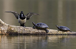 Ring-necked Duck (Aythya collaris) male with basking Red-eared Slider (Trachemys scripta elegans) pair, Washington  -  Nate Chappell/ BIA