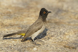 African Red-eyed Bulbul (Pycnonotus nigricans), Erongo Mountains, Namibia  -  Nate Chappell/ BIA