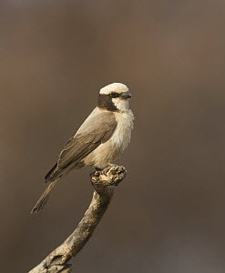 Southern White-crowned Shrike (Eurocephalus anguitimens), Namibia - Nate Chappell/ BIA
