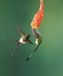 Booted Racket-tail (Ocreatus underwoodii) males fighting, Pichincha, Ecuador  -  Nate Chappell/ BIA