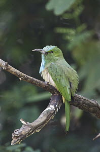 Blue-bearded Bee-eater (Nyctyornis athertoni), Kaeng Krachan National Park, Thailand - Nate Chappell/ BIA