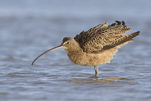 Long-billed Curlew (Numenius americanus), Texas  -  Nate Chappell/ BIA