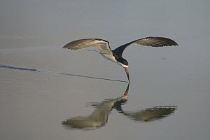 Black Skimmer (Rynchops niger) skimming, Mustang Island State Park, Texas  -  Nate Chappell/ BIA