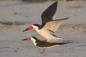 Black Skimmer (Rynchops niger) pair mating, Texas  -  Nate Chappell/ BIA