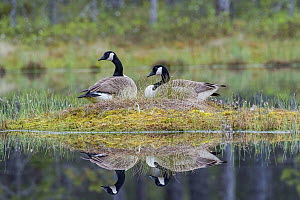 Canada Goose (Branta canadensis) pair on nest, Sweden  -  Alfred Trunk/ BIA