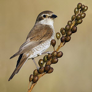 Red-backed Shrike (Lanius collurio) female, Asturias, Spain  -  Mario Suarez Porras/ BIA