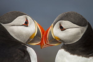 Atlantic Puffin (Fratercula arctica) pair preening, Farne Islands, United Kingdom - Brais Seara Fernandez/ BIA