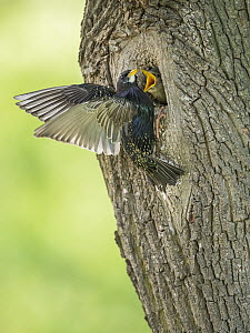 Common Starling (Sturnus vulgaris) at nest cavity with begging chick, Rhineland-Palatinate, Germany  -  Marius Bast/ BIA