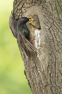 Common Starling (Sturnus vulgaris) feeding young in nest cavity, Rhineland-Palatinate, Germany  -  Marius Bast/ BIA