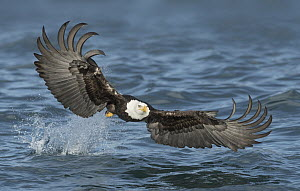 Bald Eagle (Haliaeetus leucocephalus) striking at fish, Alaska  -  Alan Murphy/ BIA