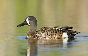 Blue-winged Teal (Anas discors) male, Texas  -  Alan Murphy/ BIA