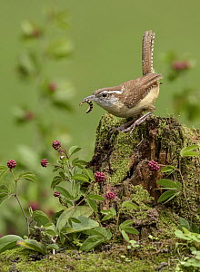 Carolina Wren (Thryothorus ludovicianus) with insect prey, Texas  -  Alan Murphy/ BIA